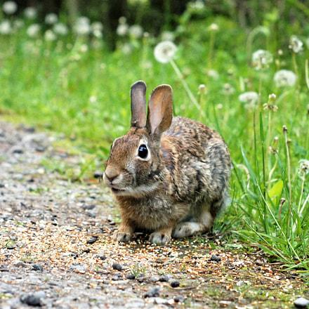 Little Rabbit Eating Breakfast, Sony SLT-A35, Minolta AF 50mm F1.7