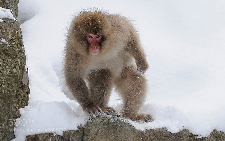 Looking at the size the feet of this Japanese Macaque aka Snow Monkey has, I suppose you can imagine why I called this one Bigfoot :-)
