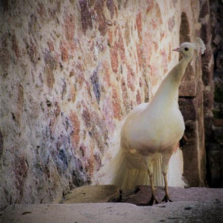 The peacock curiosity, Fujifilm FinePix S9600