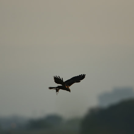 夜明け  Eastern marsh harrier, Canon EOS 7D MARK II