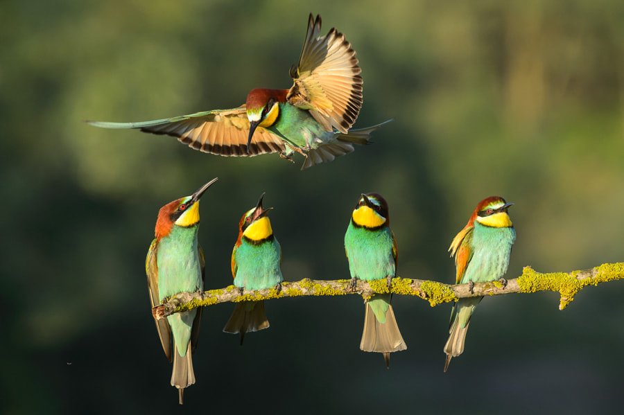 Bee eaters 2 by Franco Fratini on 500px.com
