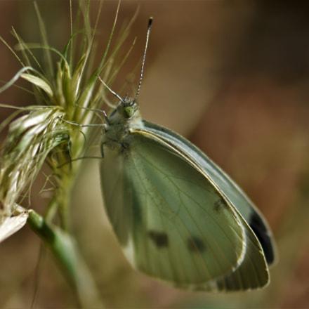 Butterfly . . ., Nikon D7200, AF-S VR Micro-Nikkor 105mm f/2.8G IF-ED