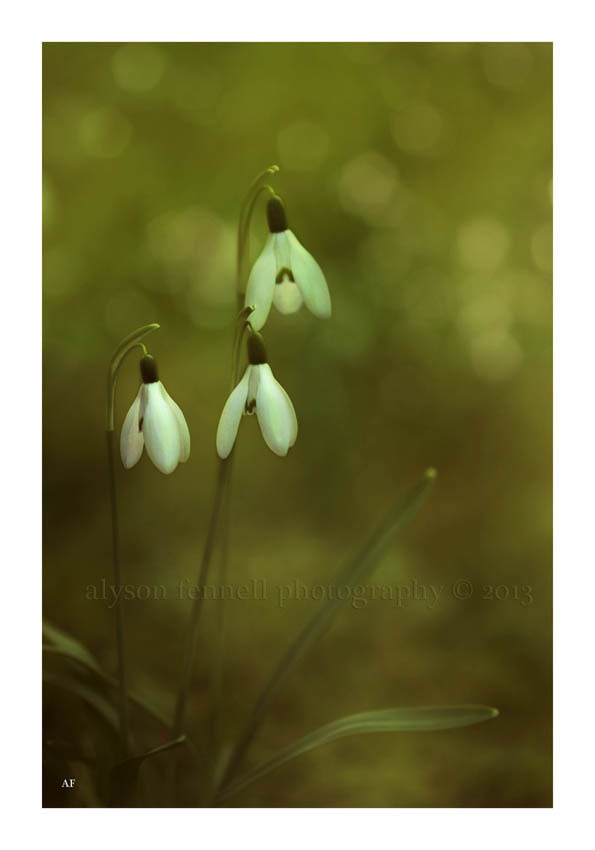 Photograph Snowdrops. by Alyson Fennell on 500px