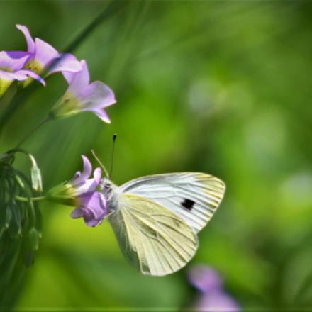 papillon, Nikon D500, Tamron SP 70-300mm f/4-5.6 Di VC USD (A005)