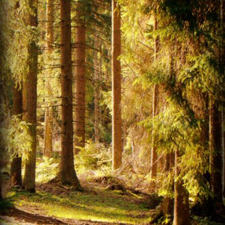 walking an the woods, Sony DSC-H50