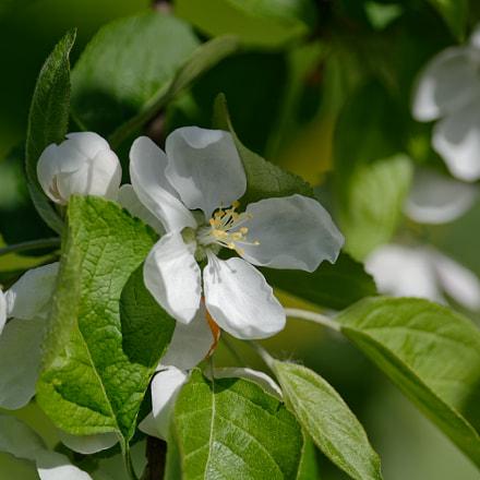 Apple flowers, Nikon D7100