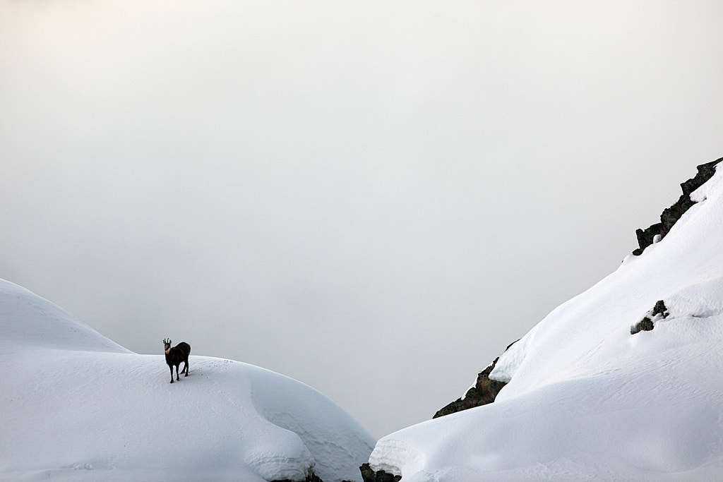 Photograph Chamois in white by Fabio Vivalda on 500px