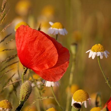 Poppy, Canon EOS 70D