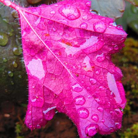Purple Leaf, Canon POWERSHOT SX610 HS