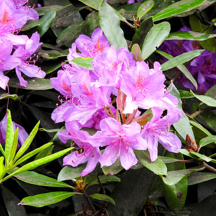 Rhododendrons, Nikon COOLPIX P610
