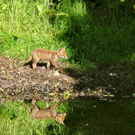 Fox Cub Reflections, Samsung Galaxy K Zoom