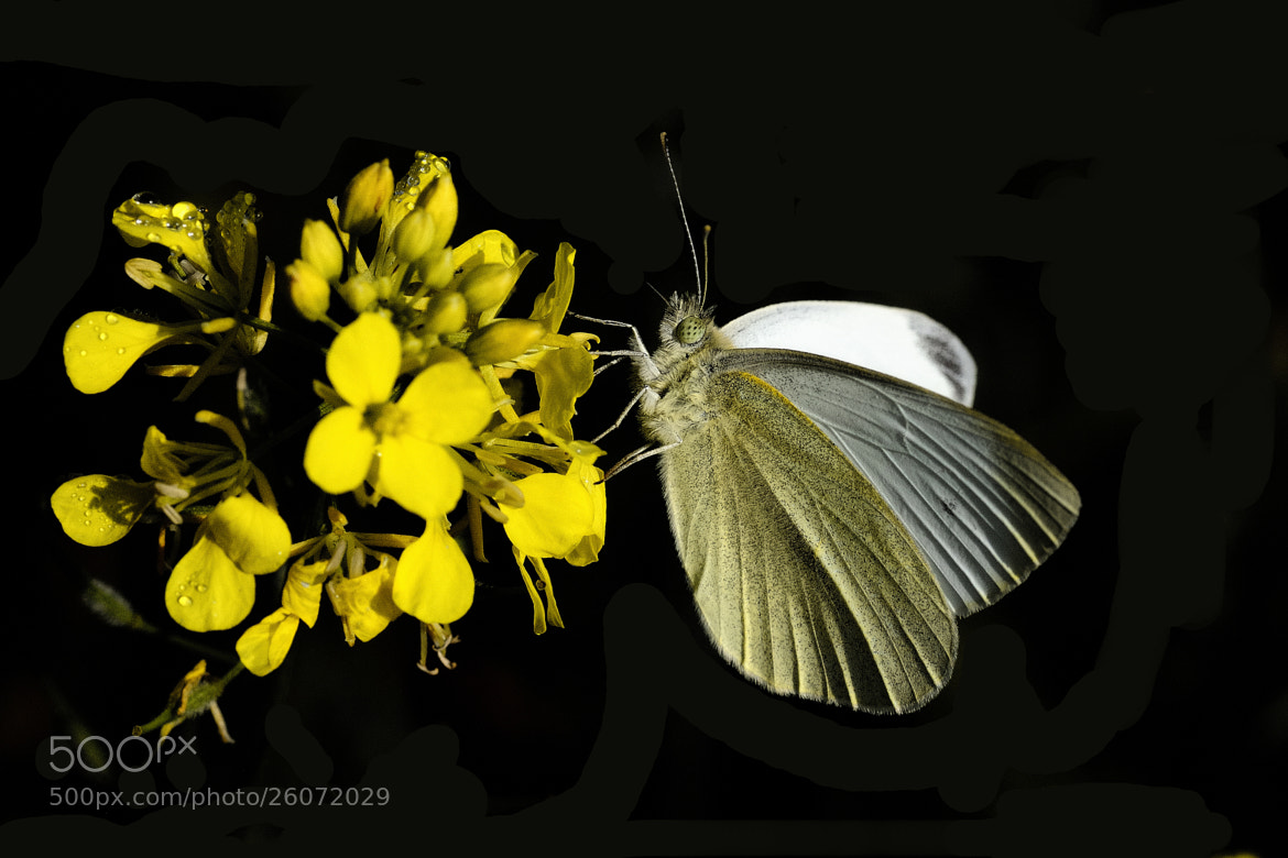 Photograph White Butterfly by B Timmer on 500px