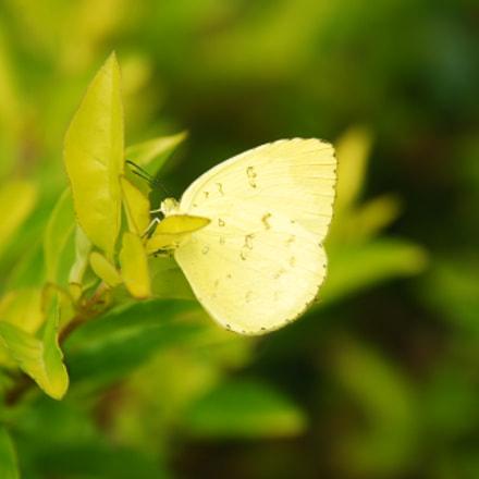 Butterfly, Nikon D80, AF-S DX Zoom-Nikkor 18-135mm f/3.5-5.6G IF-ED