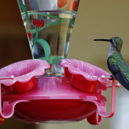 Hummingbird, Canon EOS 6D MARK II