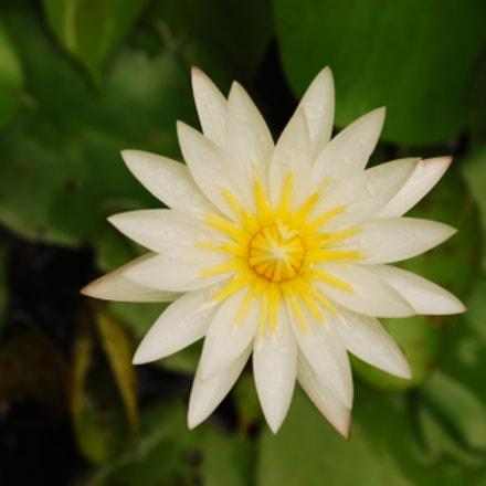 Lotus, Nikon D80, AF-S DX Zoom-Nikkor 18-135mm f/3.5-5.6G IF-ED