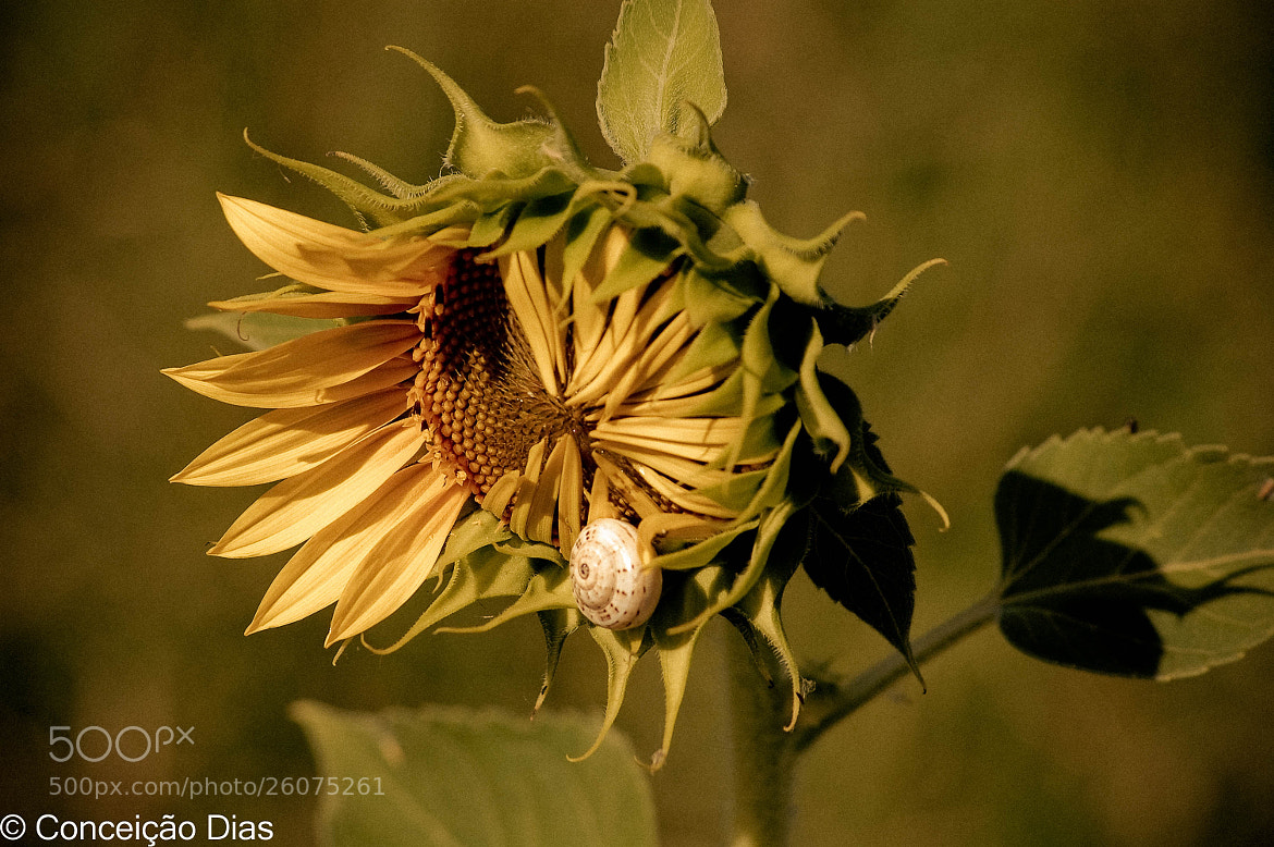 Photograph   Sunflower and snail by Conceição Dias on 500px