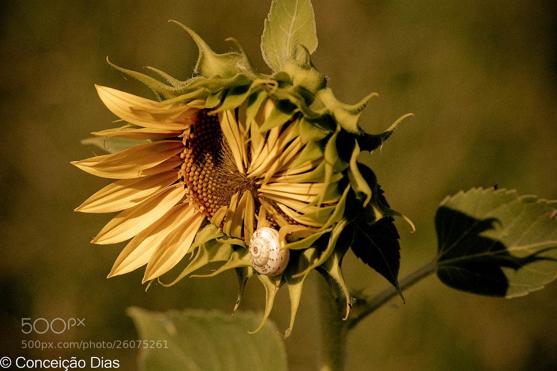 Photograph   Sunflower and snail by Conceição Dias on 500px