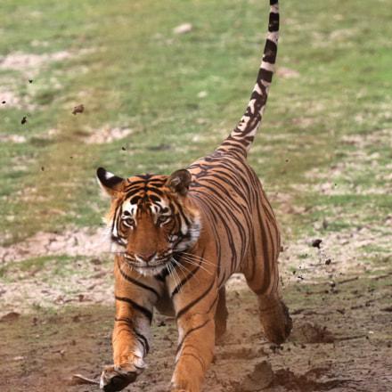 Royal Bengal Tiger, India, Canon EOS 5D MARK III