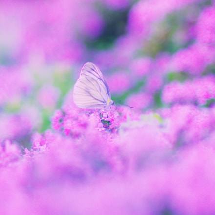 A cabbage butterfly, RICOH PENTAX K-3 II, smc PENTAX-D FA Macro 100mm F2.8 WR