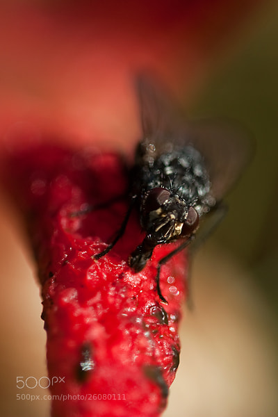 Photograph fly on devil's finger by Gertjan Ketelaars on 500px