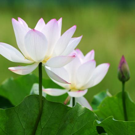 Lotus Blossom, Nikon D7200