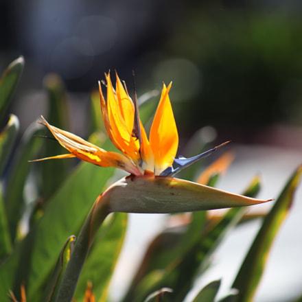 Flower, Canon EOS 5D MARK II, Canon EF 75-300mm f/4-5.6 USM