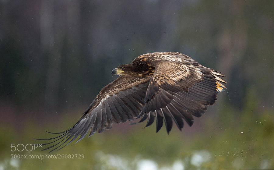 flying white-tailed eagle