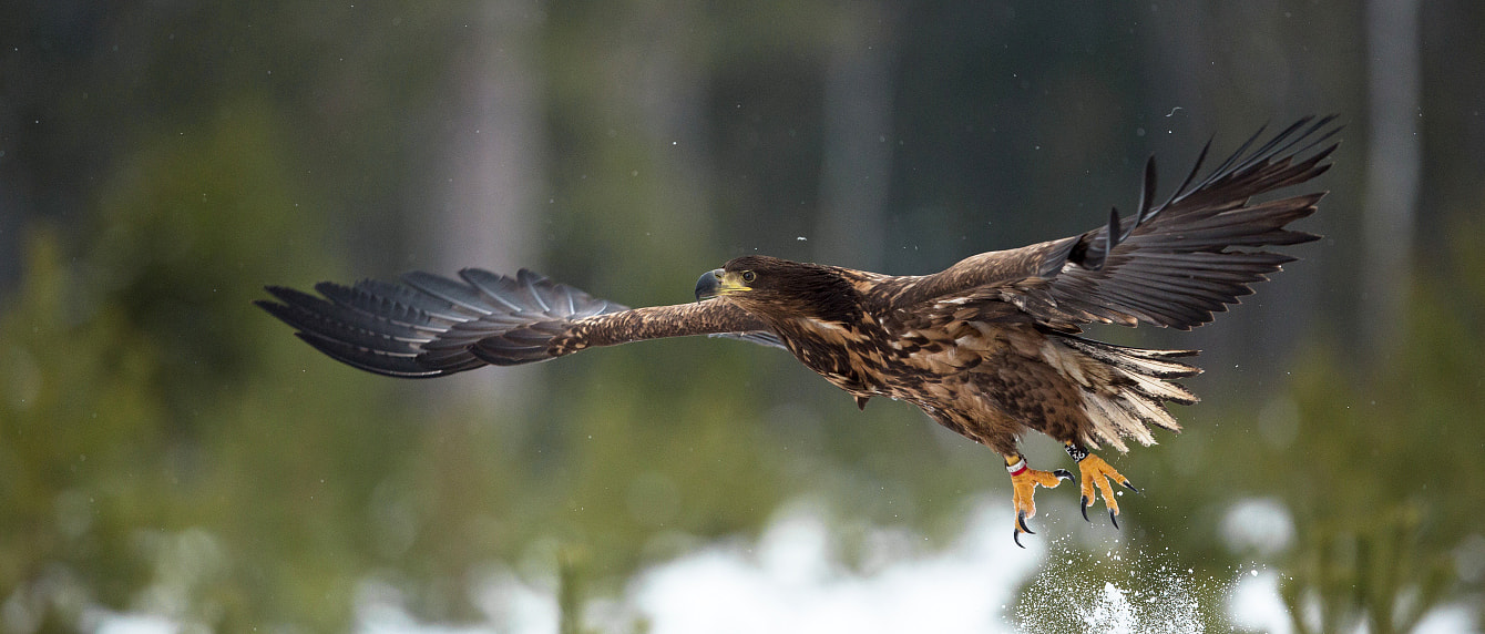 Photograph White-tailed eagle by Lauri Tammik on 500px
