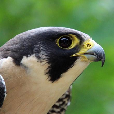 Peregrine Falcon, Canon EOS REBEL T5I