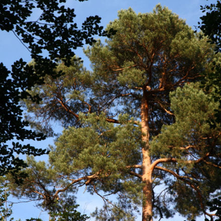 The Pine Tree, Canon EOS 5D, Canon EF 24-105mm f/3.5-5.6 IS STM