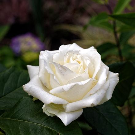 White rose, Nikon D750, AF-S Nikkor 50mm f/1.4G