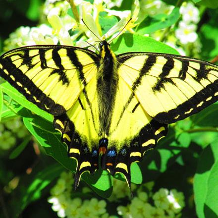 Swallowtail Butterfly, Canon POWERSHOT SX610 HS