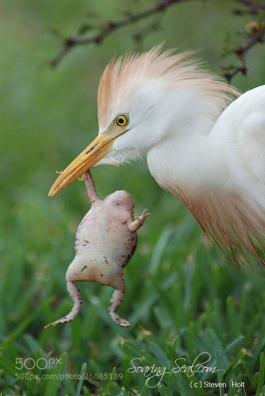 Photograph Cattle Egret  (Bubulcus ibis) by Steven Holt on 500px