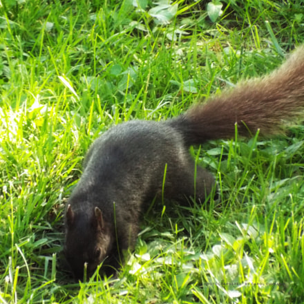 Red tailed squirrel, Fujifilm FinePix S9900W S9950W