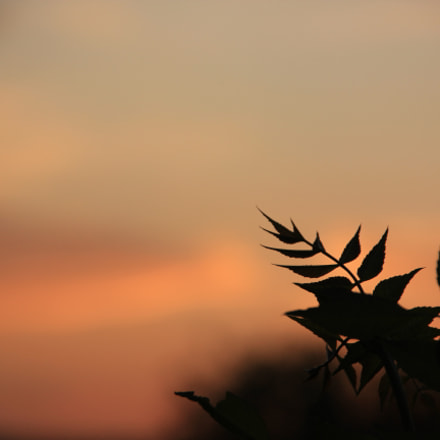Sunset branch, Canon EOS 550D, Canon EF-S 18-135mm f/3.5-5.6 IS