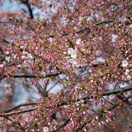 Blooming Spring in Copenhagen, Nikon D60, AF-S DX VR Zoom-Nikkor 18-105mm f/3.5-5.6G ED