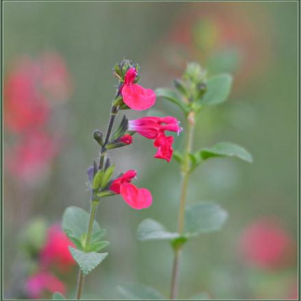 Scarlet Sage, Nikon D850