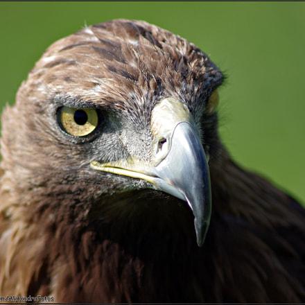 Águila, Pentax K-R, Tamron AF 70-300mm F4-5.6 LD Macro 1:2