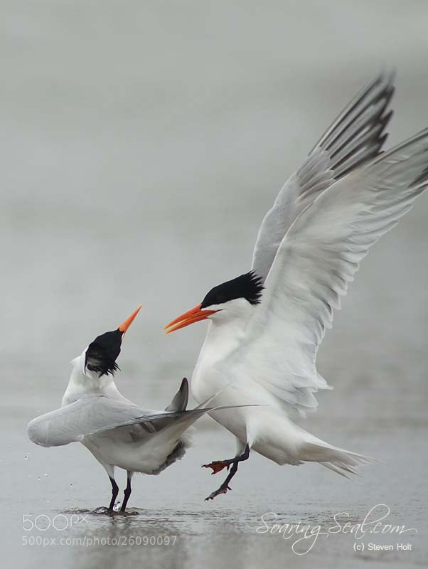 Photograph Royal Tern (Sterna maxima) by Steven Holt on 500px