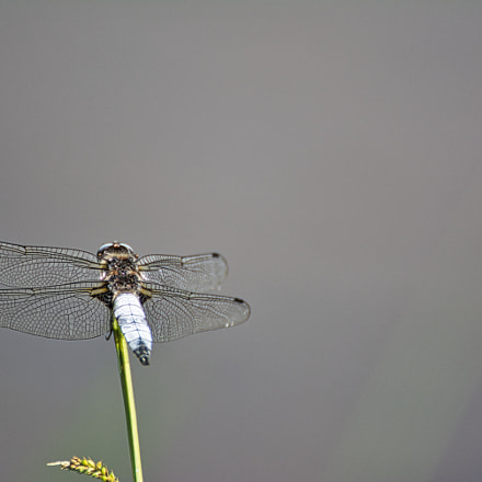 dragonfly, Nikon D5200, Tamron SP 70-300mm f/4-5.6 Di VC USD (A005)