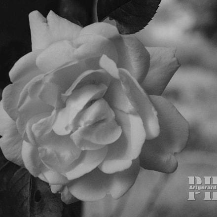 Rosa, Nikon D5200