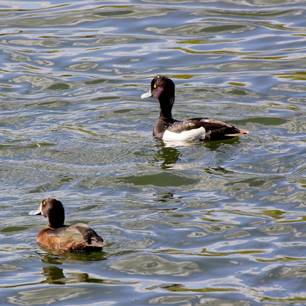 Tufted duck, Canon EOS KISS X3, Tamron SP 35mm f/1.8 Di VC USD + 2x