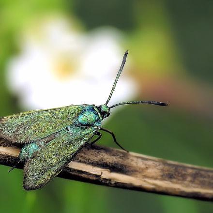 Green moth, Nikon E8800