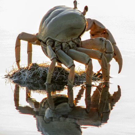 Silhouette of a crab, Canon POWERSHOT S5 IS