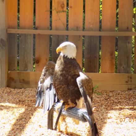 Bald Eagle, Nikon COOLPIX L340