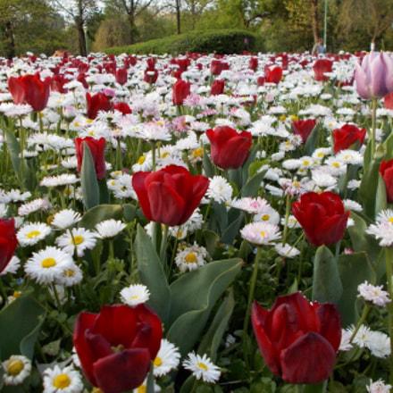 Tulips, Nikon COOLPIX L29