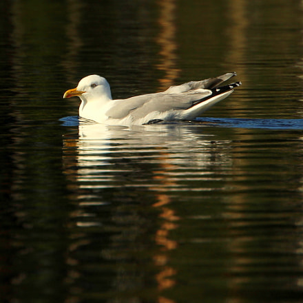 The evening swimming., Canon EOS 700D, Canon EF 70-300mm f/4.5-5.6 DO IS USM