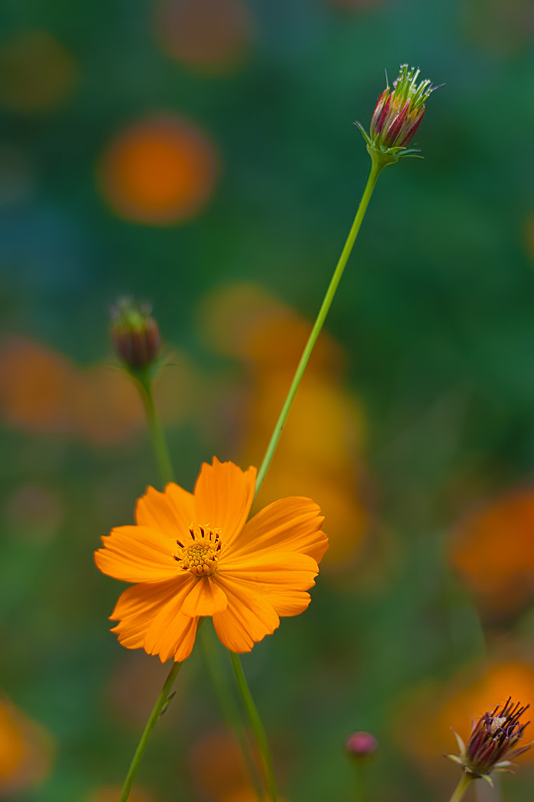 Photograph Cosmos 2 by Sharon Smith on 500px