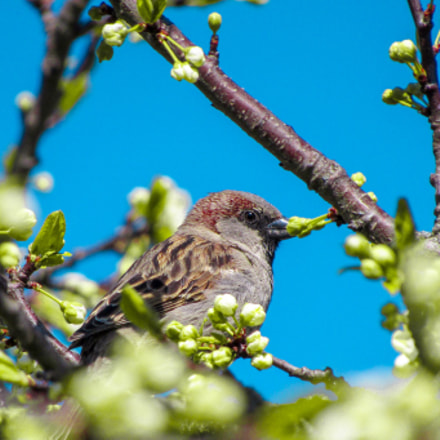 What a curious sparrow!, Canon POWERSHOT SX410 IS