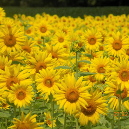 Yellow flowers, Nikon COOLPIX L340